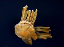 Lagoon Jelly fish. Royalty Free Stock Photos