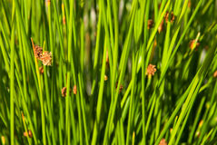 Lagoon sedges Royalty Free Stock Photos