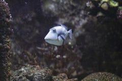 Lagoon triggerfish Royalty Free Stock Image