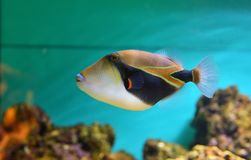 Lagoon triggerfish Coral reef Clown triggerfish royalty free stock images