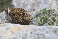 Lagopède alpin de roche Image stock