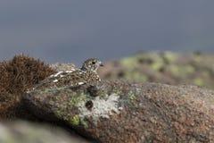 Lagopède alpin, muta de Lagopus, pose haute de fin pendant une journée de printemps ensoleillée en parc national de pierres de Ca photos libres de droits