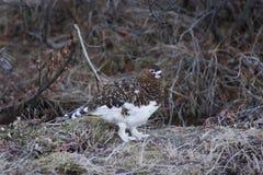 Lagopède des Alpes femelle Images stock