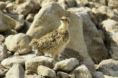 Lagopède des Alpes sibérien de roche (mutus de Lagopus). Photo stock