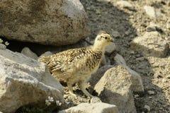 Lagopède des Alpes sibérien de roche (mutus de Lagopus). Images stock