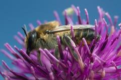 Lagopoda femenino del Megachile en cardo Imagenes de archivo