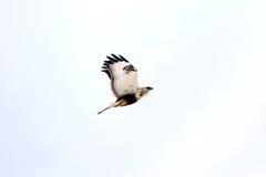 Lagopus de Hawk Buteo do voo Imagens de Stock Royalty Free