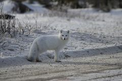 Lagopus de Vulpes de renard arctique se tenant du côté d'une route de gravier près de Churchill Photo libre de droits