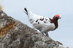 Lagopus lagopus, Willow ptarmigan. Stock Photo
