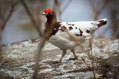 Lagopus lagopus, Willow ptarmigan. Royalty Free Stock Photo