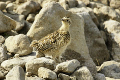 lagopus mutus雷鸟岩石西伯利亚人 库存照片