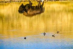 Lagos parque nacional, Alberta, Canadá Waterton de la reflexión del bisonte Fotografía de archivo