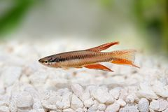 Lagos Red Killifish aquarium fish Killi Aphyosemion bitaeniatum. Fish royalty free stock photography