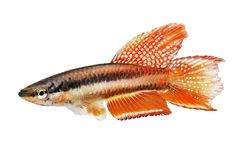 Lagos Red Killifish Male aquarium fish Killi Aphyosemion bitaeniatum. Tropical stock image