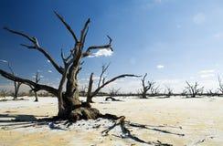 Lagos salt e árvores inoperantes Fotos de Stock