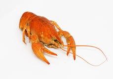 lagosta Foto de Stock Royalty Free