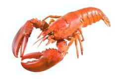 lagosta Imagem de Stock