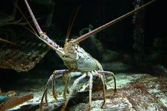 Lagosta da lagosta Foto de Stock Royalty Free