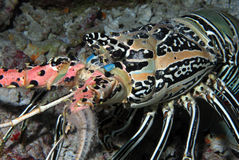 Lagosta do Oceano Índico Imagens de Stock Royalty Free