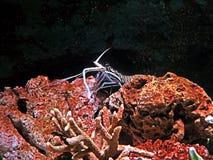 Lagosta espinhoso azul com Coral Reef no fundo da natureza imagem de stock