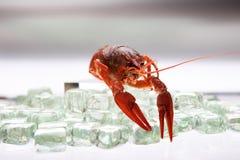 Lagosta no gelo Foto de Stock