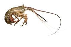 Lagosta Spiny - Palinuridae imagens de stock royalty free