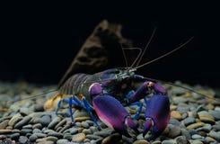 Lagostas Cherax no aquário imagens de stock royalty free