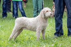 Lagotto φυλών σκυλιών στοκ φωτογραφίες με δικαίωμα ελεύθερης χρήσης