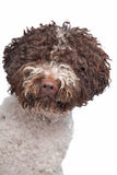 Lagotto romagnola Royalty Free Stock Photography