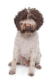 Lagotto romagnola Stock Photos