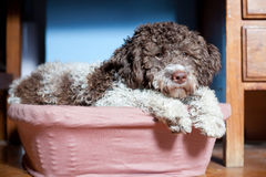 Lagotto romagnolo Royalty Free Stock Image