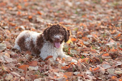 Lagotto romagnolo Stock Photography