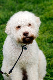 Lagotto Romagnolo Stock Photo