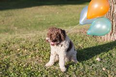 Lagotto romagnolo dog with balloons Royalty Free Stock Photos
