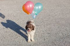 Lagotto romagnolo dog with balloons Stock Image