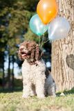 Lagotto romagnolo dog with balloons Royalty Free Stock Images