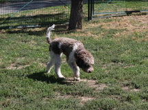 Lagotto Romagnolo in dog park Royalty Free Stock Images