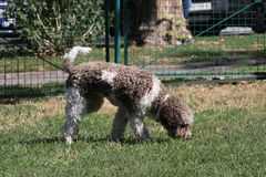 Lagotto Romagnolo in dog park Stock Images