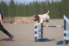 Lagotto romagnolo jumps over an agility hurdle Royalty Free Stock Image