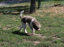 Lagotto Romagnolo nel parco del cane Immagini Stock Libere da Diritti