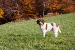 Lagotto romagnolo in the woods Royalty Free Stock Images
