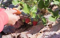 Lagra den mogna jordgubben för bär Royaltyfri Foto