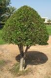lagrartree Royaltyfri Foto
