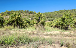 Lagrasse Vineyards Stock Photography