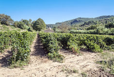 Lagrasse vingårdar Arkivfoto