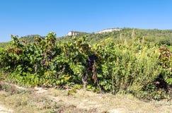 Lagrasse vingårdar Arkivbilder