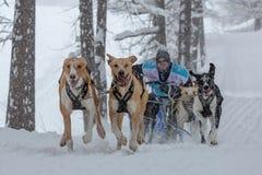 Lagslädehundkapplöpning som kör längs en snöig väg under tung snö Snö som klibbas till hunden, tystar ned fotografering för bildbyråer