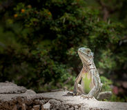 Lagun Beach - Iguana Stock Photos