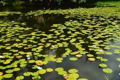 Lagun mycket av härliga sväva växter royaltyfri foto