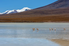 Laguna Canapa in Altiplano a salt lake, Bolivia Stock Photos